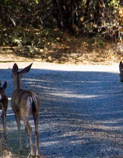 Apple Blossom Deer   Yosemite,CA   Apple Blossom