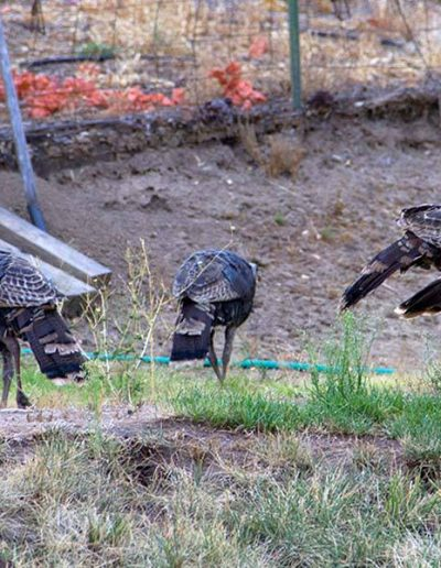 Apple Blossom Turkeys | Yosemite,CA | Apple Blossom