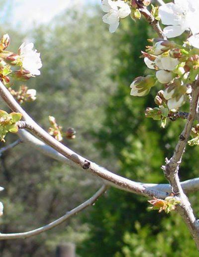 Apple blossoms   Yosemite,CA   Apple Blossom
