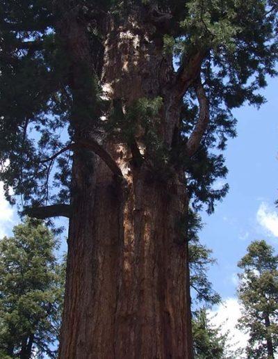 Mariposa Grove   Yosemite,CA   Apple Blossom