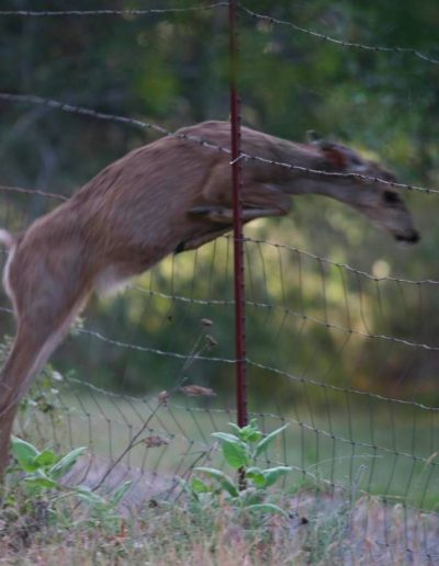 deer thru fence | Yosemite,CA | Apple Blossom