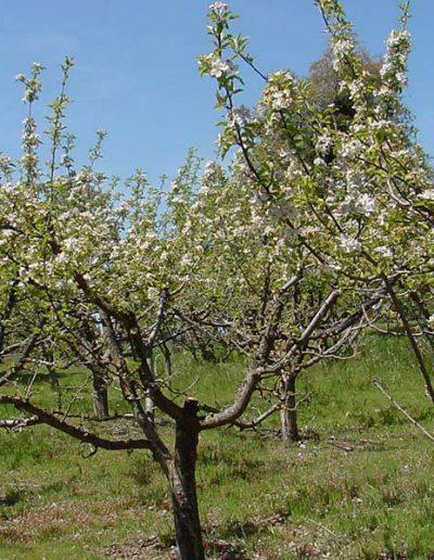 orchardinbloom   Yosemite,CA   Apple Blossom